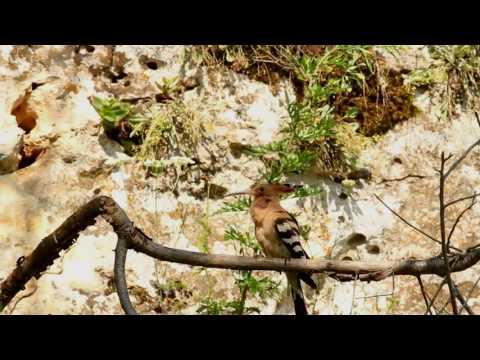 Dudek (Upupa epops) / Hoopoe
