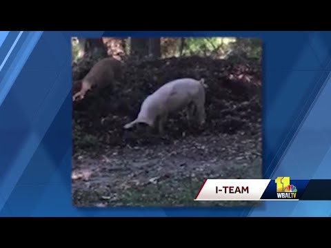 Bob Delmont - PIGS somehow show up in Dundalk!