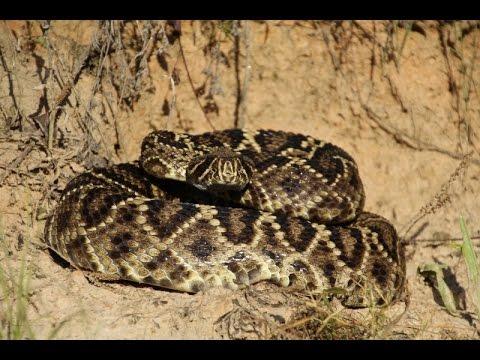 Eastern Diamondback Rattlesnake strikes camera