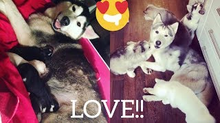 RUPERT HUSKY THE MOST PATIENT DAD IN THE WORLD! [MEET THE CUTEST HUSKY PUPPIES EVER!!]