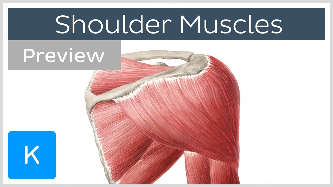 Download Muscles of the shoulder: origins, insertions and functions (preview) - Human Anatomy |Kenhub