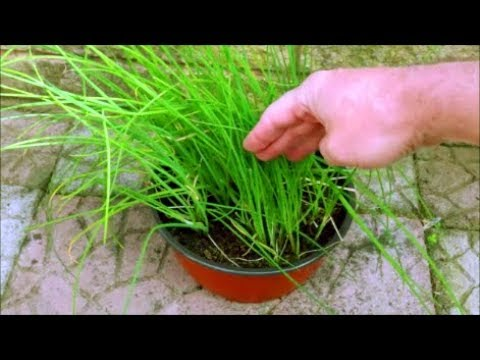 How To Grow Chives In A Pot Youtube