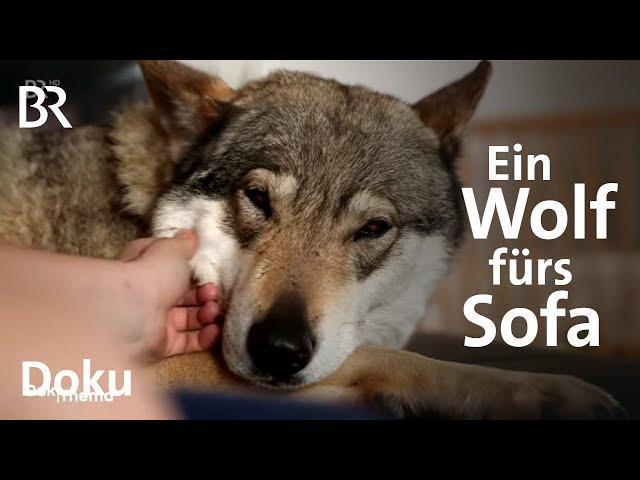 Zwischen Wolf und Hund - Wie gefährlich sind Wolfshybriden? | DokThema | Doku | BR