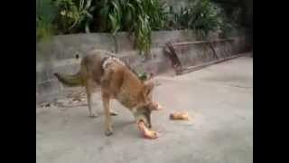 Coyotes comiendo pollo  ralph y canis