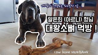 [꾼맨 알렝꼬] 60kg 카네코르소 아르니 대왕 소뼈 …