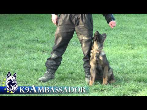 Puppy Obedience Training - Forest - 3 1/2 - 4 1/2 months old German Shepherd Dog / K9 Ambassador