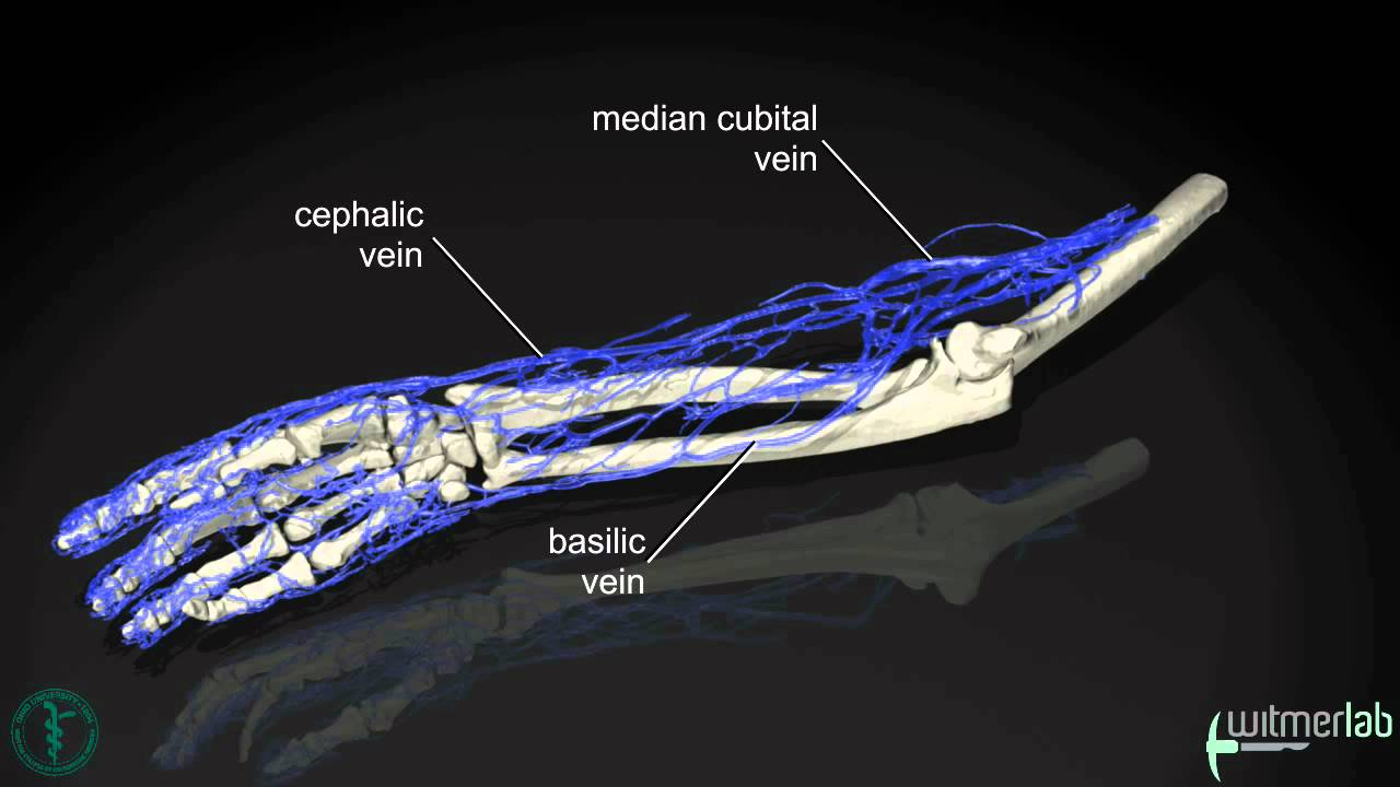Anatomy of the human arm, based on vascular injection and CT ...