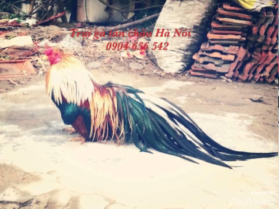 Trại gà tre tân châu Hà Nội - 0904 656 542