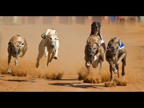 Top 10 Fastest Dog Breeds in the World - Youtoube | Boboka Tana