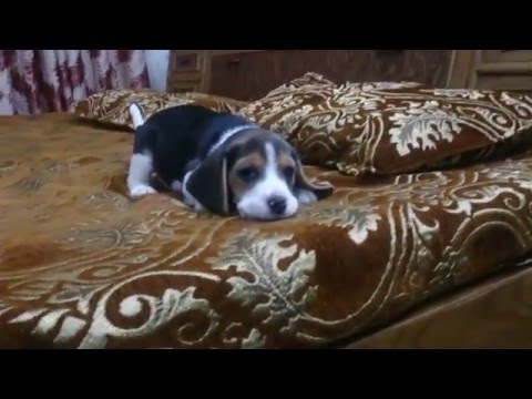 3 months old beagle puppy playing on bed | Bealge puupy | Moglee the Beagle