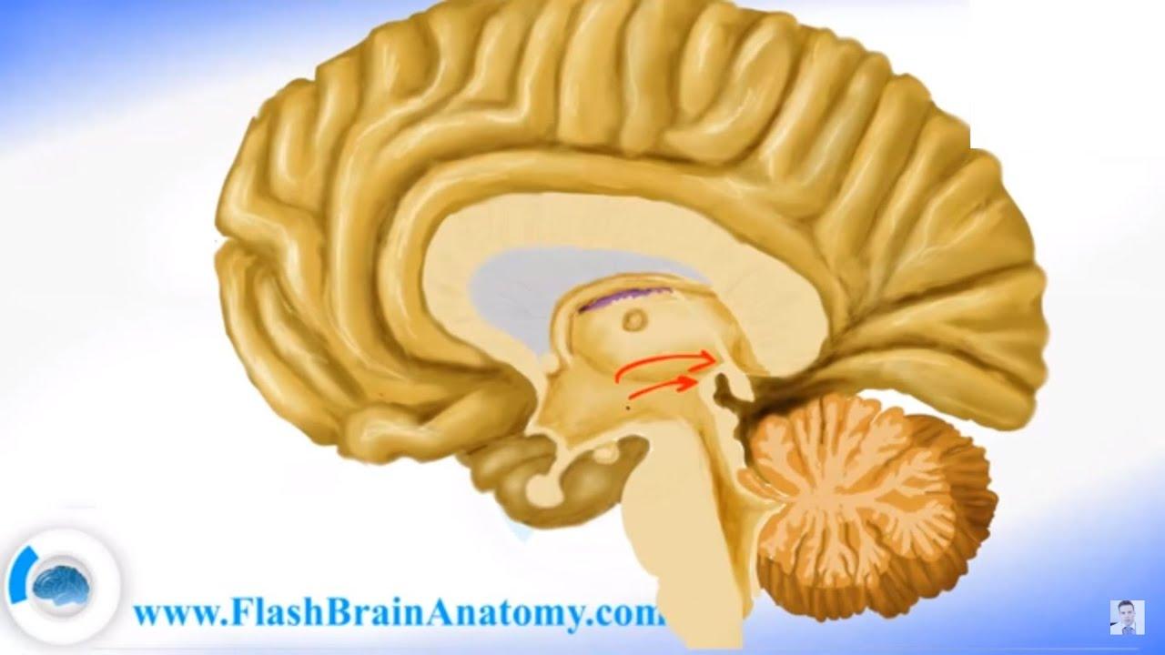 Brain Anatomy - Human Nervous System - YouTube