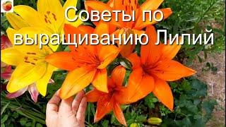 Советы по выращиванию Лилий Все секреты выращивания Лилии