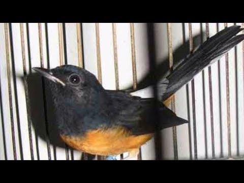 Ciri Ciri Dan Harga Terbaru Burung Murai Batu Borneo