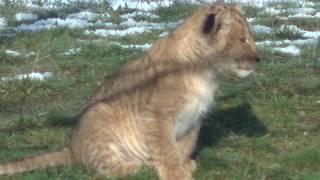 Wildlands leeuwin met welp
