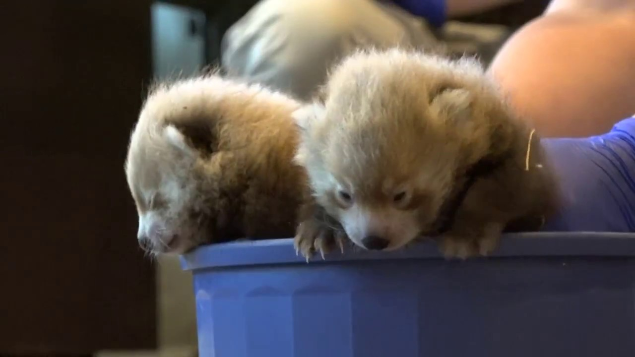 Download Denver Zoo welcomes birth of two, male red panda cubs
