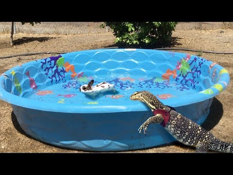 lizard-finds-animal-in-pool,-jumps-in-and-eats-it