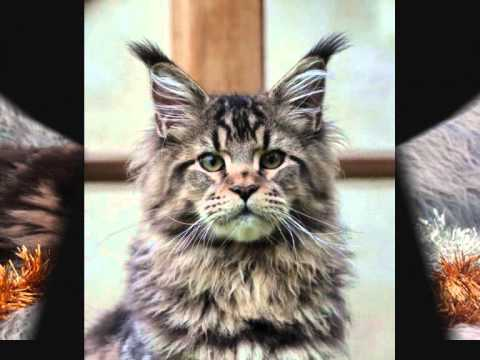 HECTOR LE BISOUNOURS MAINE COON