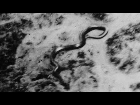 REAL Largest Snake in the World seen Alive Katanga Congo 1959