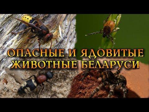 Опасные и ядовитые беспозвоночные Беларуси