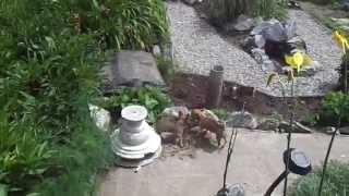 Щенки чихуахуа в Запорожье