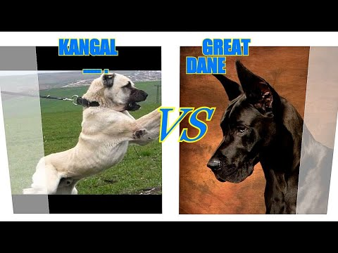 KANGAL VS GREAT DANE Dog Comparision by Dog tubed