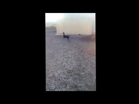 The Happy Spinning Dog Doberman Pinschers Having Fun