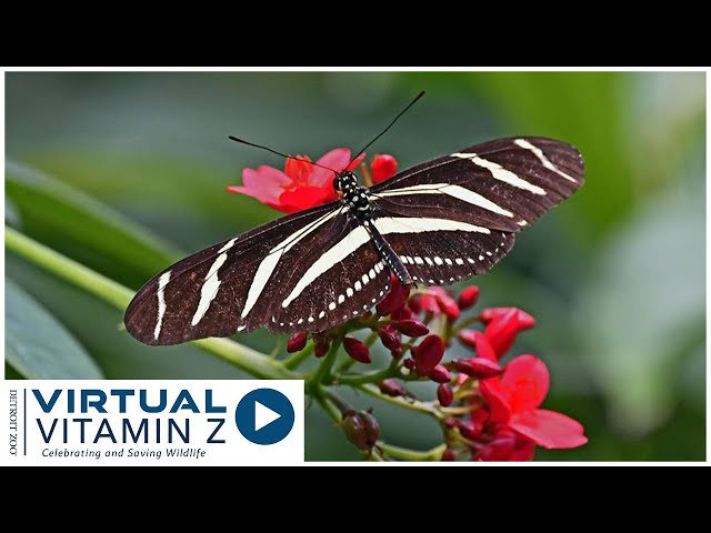 Virtual Vitamin Z | Explore and learn about the butterfly garden at the Detroit Zoo Part 1