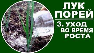видео Лук-порей: выращивание через рассаду, уход и применение