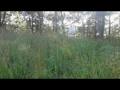 Big Bluestem grass growing in a small prairie restoration