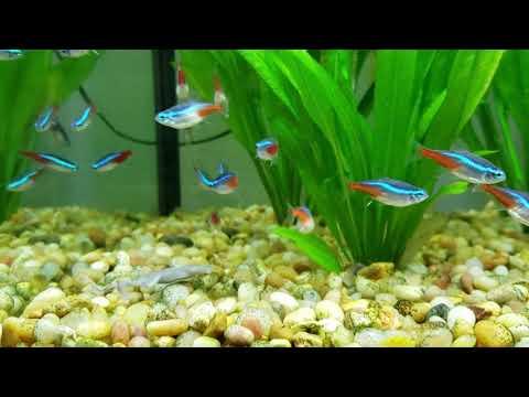 Best Live Aquatic Plant | Jungle Amazon Sword Plant |  Echinodorus Bleheri amazonicus