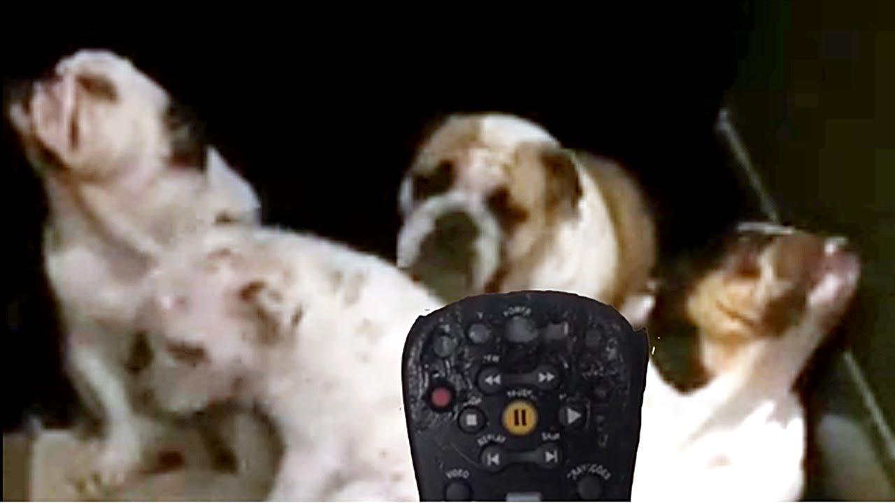 Quem roeu o controle da TV ? 4 cachorros buldogues com cara de culpados