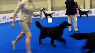 World Dog Show'16 Flatcoated retriever  Best Male