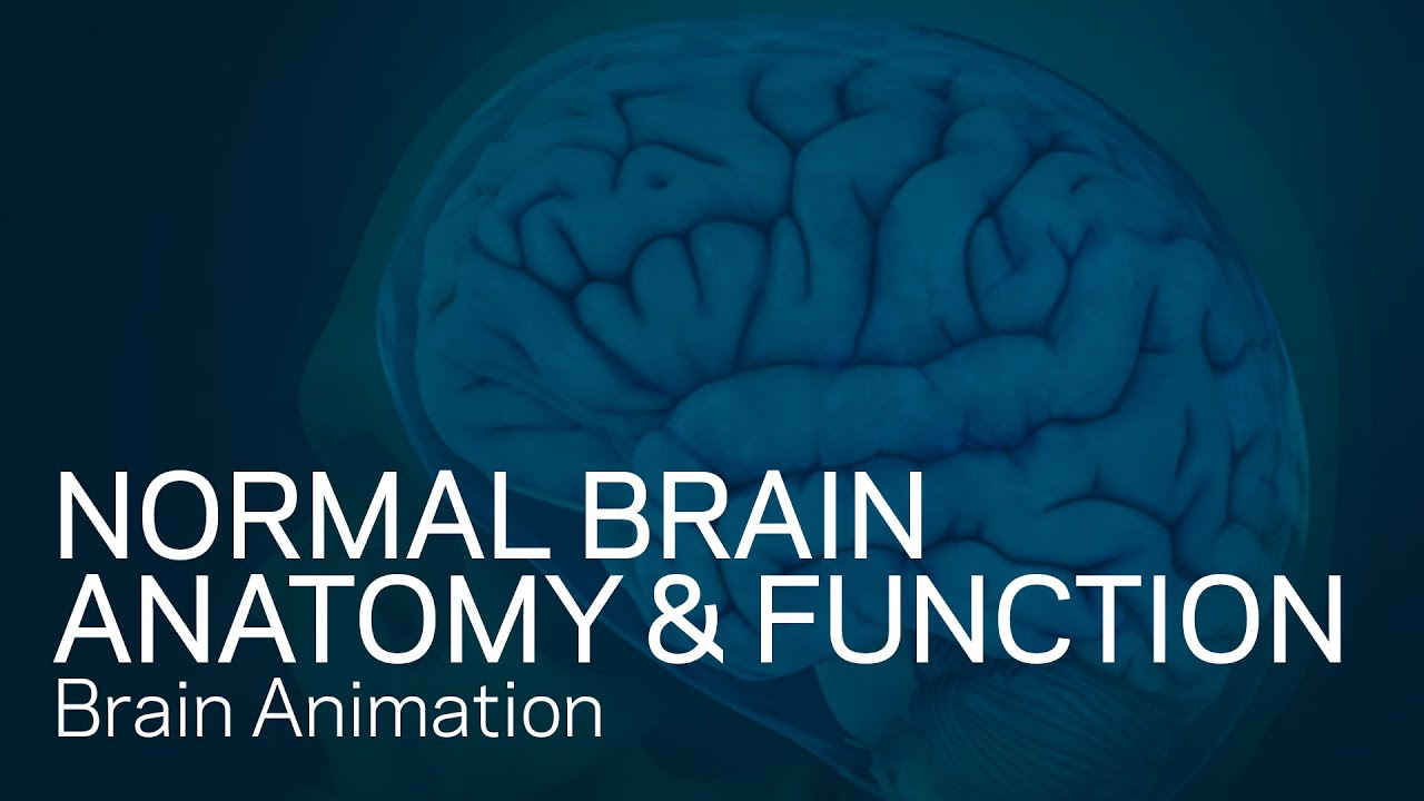 Normal Brain Anatomy And Function Medical Animation Youtube