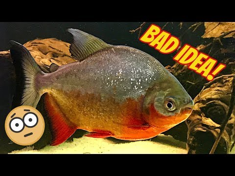Don't Buy This Adorable Fish! Red Belly Pacu