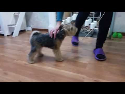 Lakeland terrier puppy CHATEAU SUNRISE (Tosha). 3.5 month