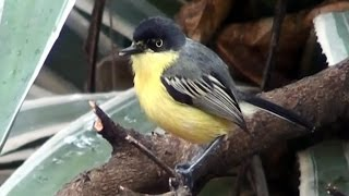 vuclip Engineering birds, bird nests, Common Tody-Flycatcher,