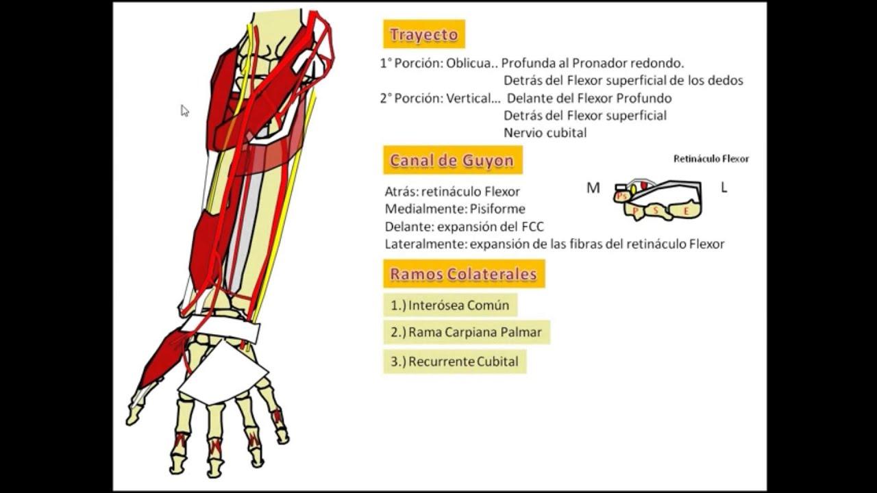 Atractivo Arteria Cubital Foto - Anatomía de Las Imágenesdel Cuerpo ...