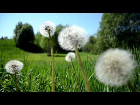 Relaxing Nature Music Swedish - Spring Meadow Sounds of Birds