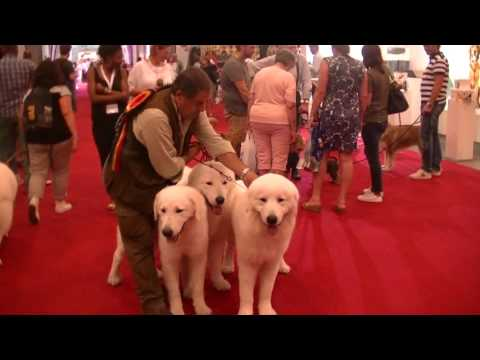 Awesome Maremma Sheepdog in European Dog Show 2016