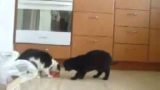 Коты дерутся видео приколы