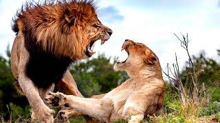 бои животных - хищники и жертвы