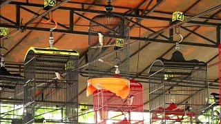 Apa Jadinya jika Cendet di Gantang Pakai Sangkar Lovebird?   Piala Bupati Bangkalan