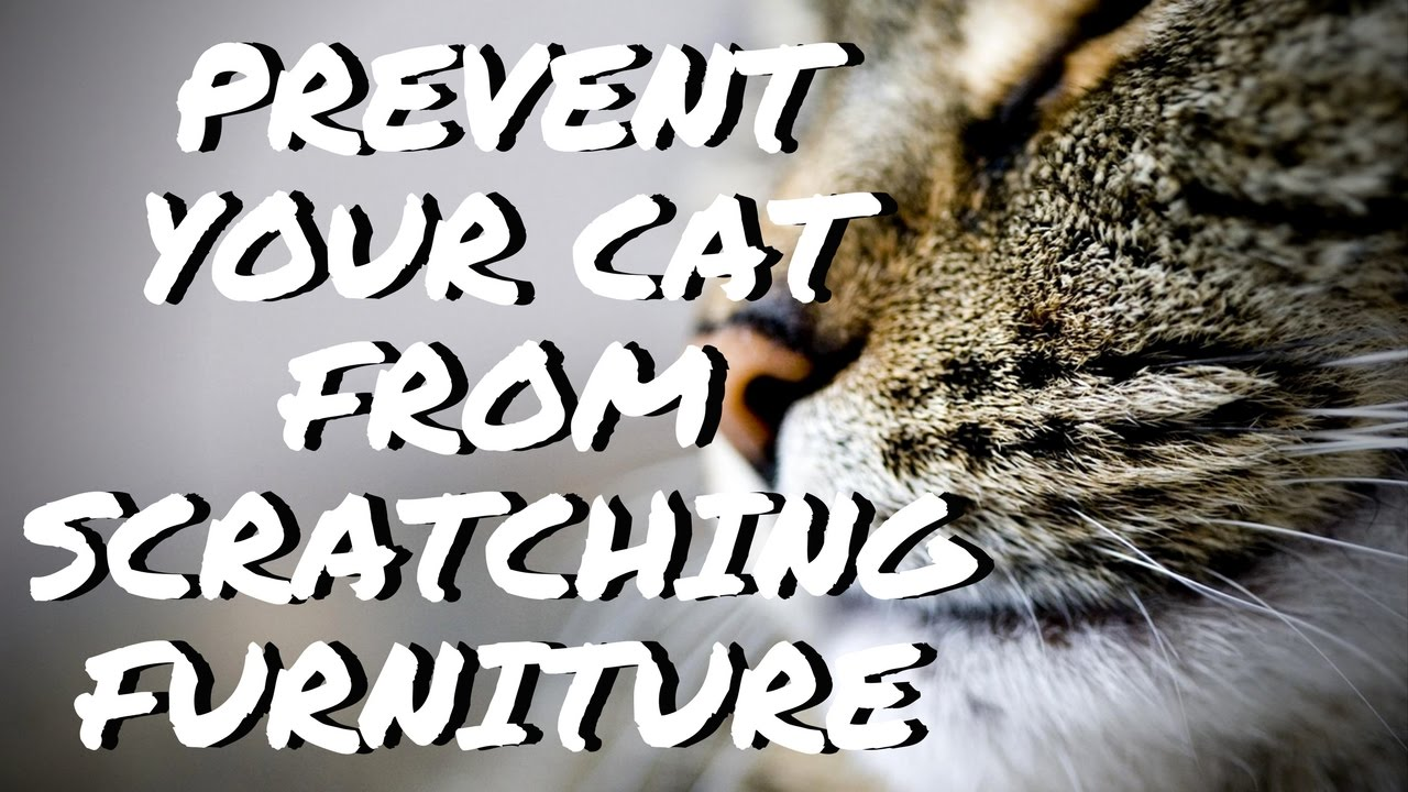 sofas stop no to prevent declawing carpets cat watch furniture your from how scratching clawing and couch needed
