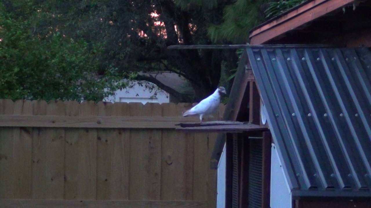 2013 throw back video of my old team of tippler pigeons youtube