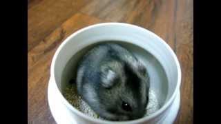 小寶貝「拉拉」的影片!!! (倉鼠) Hamster (A)