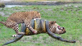 OMG! Giant Python Hunt Leopard Cubs When Mother Leopard Hunt...