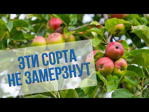 Зимостойкие сорта яблонь, груш и слив