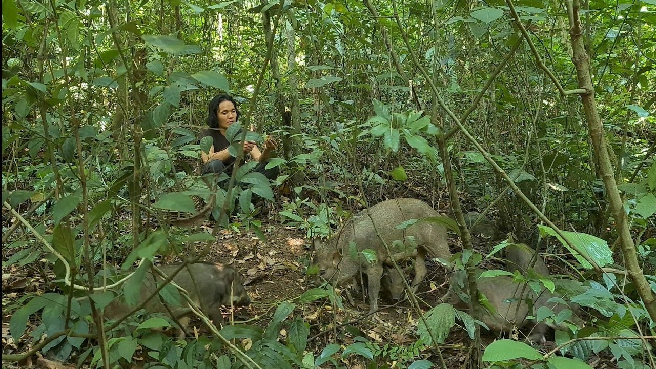 Take Pigs To Play In Forest To Find Food, Survival Instinct, Wilderness Alone, survival, Episode 154