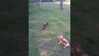 Video Protective Hen and the Playful Puppy || ViralHog download MP3, 3GP, MP4, WEBM, AVI, FLV Oktober 2018