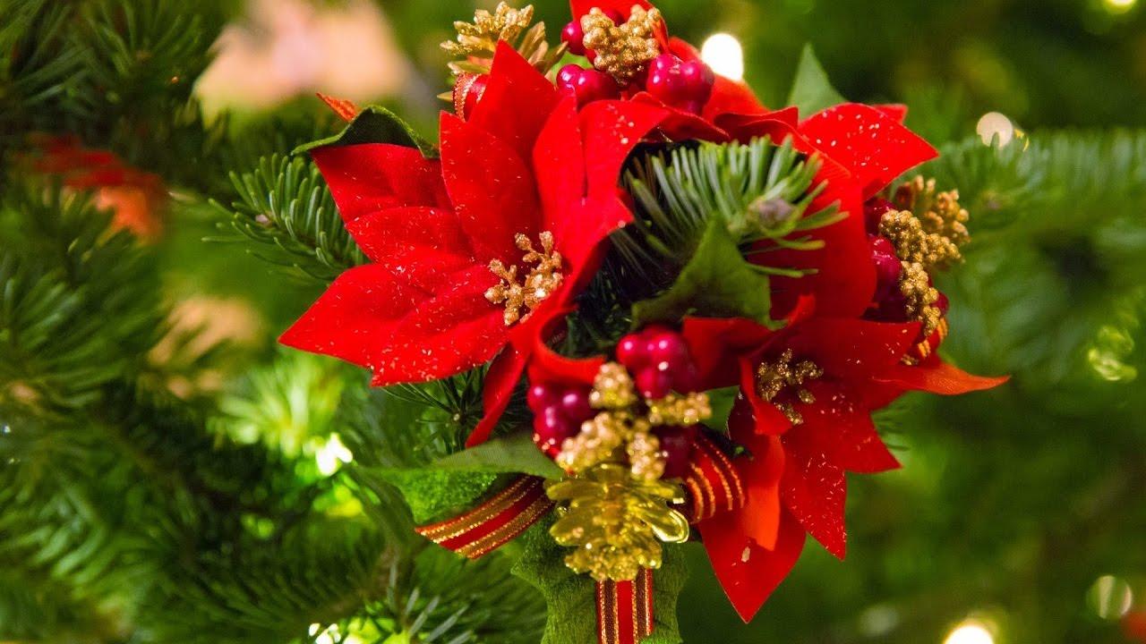 Уход за цветком рождественская звезда размножение